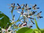 Zedrachbaum Bluete weiss lila Melia azedarach 010 1