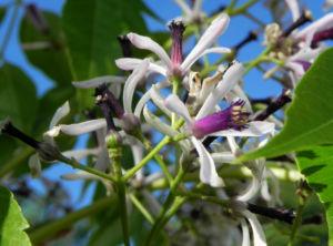 Zedrachbaum Bluete weiss lila Melia azedarach 010 2