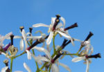 Zedrachbaum Bluete weiss lila Melia azedarach 010 3