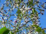 Zedrachbaum Bluete weiss lila Melia azedarach 010 4