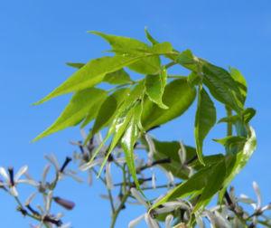Zedrachbaum Bluete weiss lila Melia azedarach 010 5