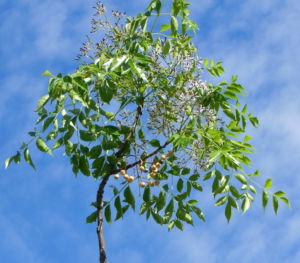 Zedrachbaum Bluete weiss lila Melia azedarach 010 7