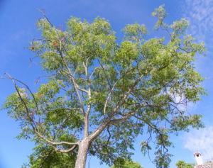 Zedrachbaum Frucht gelblich Melia azedarach 01 10