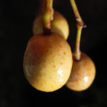 Zedrachbaum Frucht gelblich Melia azedarach 10