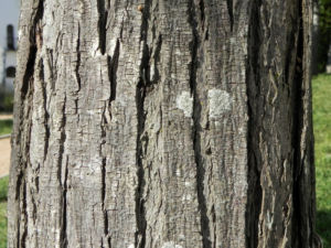 Zedrachbaum Rinde grau Melia azedarach 010 1