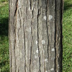 Zedrachbaum Rinde grau Melia azedarach 010 2