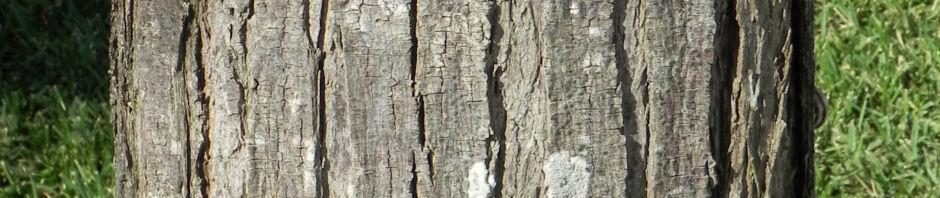 zedrachbaum-rinde-grau-bluete-weiss-lila-melia-azedarach