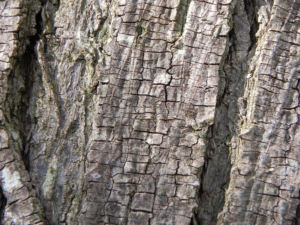 Zedrachbaum Rinde grau Melia azedarach 010 3