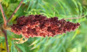 Zerschlitzblaettriger Essigbaum rot gruen Rhus typhina 01