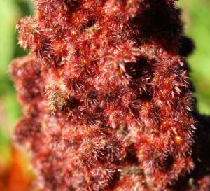 Bild: Zerschlitzblaettriger Essigbaum rot gruen Rhus typhina