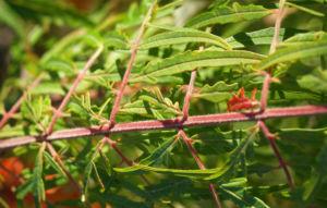 Zerschlitzblaettriger Essigbaum rot gruen Rhus typhina 04