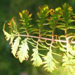 Zerschlitzblaettriger Essigbaum rot gruen Rhus typhina 06