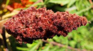 Zerschlitzblaettriger Essigbaum rot gruen Rhus typhina 07