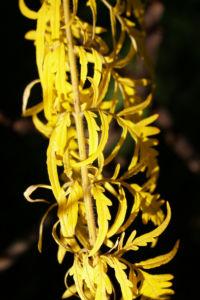 Zerschlitzblaettriger Essigbaum rot gruen Rhus typhina 08