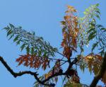 Zerschlitzblaettriger Essigbaum rot gruen Rhus typhina 09