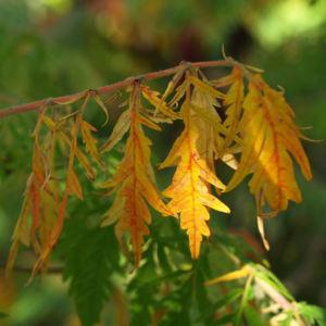 Zerschlitzblaettriger Essigbaum rot gruen Rhus typhina 10