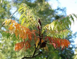Zerschlitzblaettriger Essigbaum rot gruen Rhus typhina 12