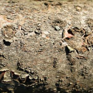 Zerschlitzblaettriger Essigbaum rot gruen Rhus typhina 16
