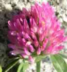 Zickzack Klee Bluete rot Trifolium medium 01