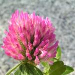 Zickzack Klee Bluete rot Trifolium medium 03