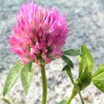 Zickzack Klee Bluete rot Trifolium medium 04