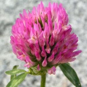 Zickzack Klee Bluete rot Trifolium medium 06
