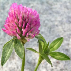Zickzack Klee Bluete rot Trifolium medium 07
