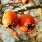 Zier Apfel Frucht rot Malus spec 01