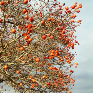 Zier Apfel Frucht rot Malus spec 02