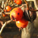 Zier Apfel Frucht rot Malus spec 03