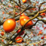 Zier Apfel Frucht rot Malus spec 04