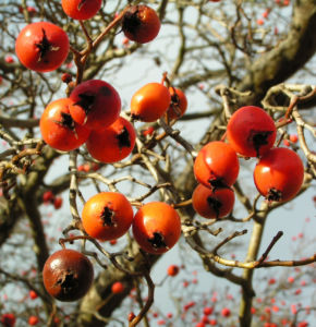 Zier Apfel Frucht rot Malus spec 05