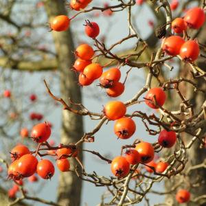 Zier Apfel Frucht rot Malus spec 06