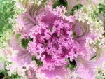 Zier Kohl Blaetter rosa gruen Brassica oleracra 02