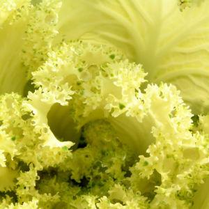 Zier Kohl Blaetter rosa gruen Brassica oleracra 03