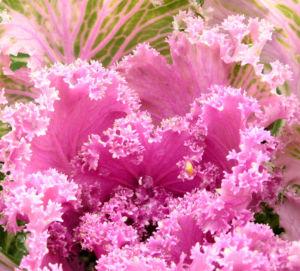 Zier Kohl Blaetter rosa gruen Brassica oleracra 04