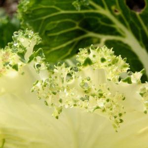 Zier Kohl Blaetter rosa gruen Brassica oleracra 05