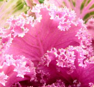 Zier Kohl Blaetter rosa gruen Brassica oleracra 06