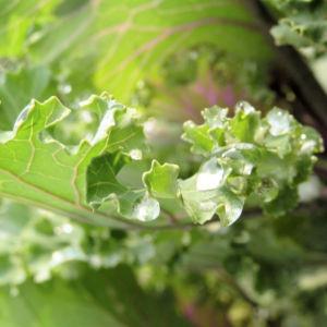 Zier Kohl Blaetter rosa gruen Brassica oleracra 07