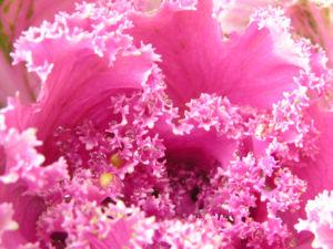 Zier Kohl Blaetter rosa gruen Brassica oleracra 08