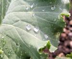 Zier Kohl Blaetter rosa gruen Brassica oleracra 09