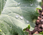 Bild: Zierkohl Blätter rosa grün Brassica oleracea