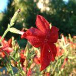 Zier Tabak Nicotiana sylvestris 02