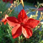 Zier Tabak Nicotiana sylvestris 03