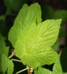 ZierHimbeere Stauch Blatt gruen Cimicifuga rubifolia 01