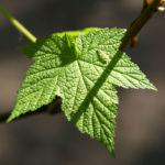 ZierHimbeere Stauch Blatt gruen Cimicifuga rubifolia 03