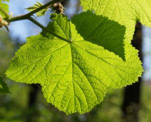 ZierHimbeere Stauch Blatt gruen Cimicifuga rubifolia 04