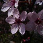 Zierpflaume Bluete Prunus x yedoensis 01