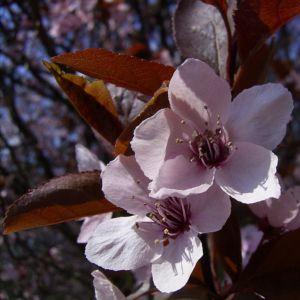 Zierpflaume Bluete Prunus x yedoensis 02