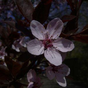Zierpflaume Bluete Prunus x yedoensis 03